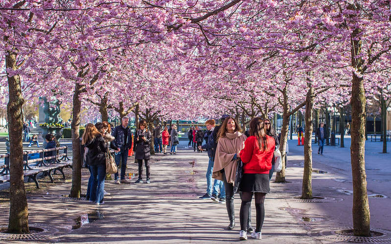 La primavera a Stoccolma a Kungsträdgården e i ciliegi giapponesi